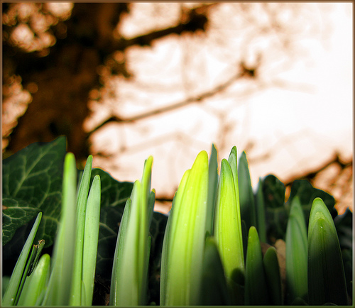 green shoots or black shoots