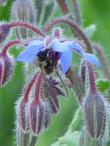 A Bee on Borage