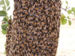 Africanized bee swarm