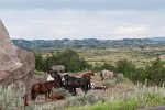 Horses-at-Theodore-Roosevelt-National-Park