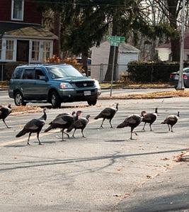 Turkeys.brookline