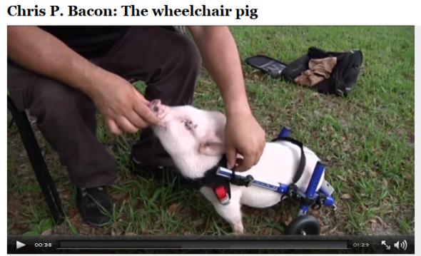 Chris P. Bacon The wheelchair pig