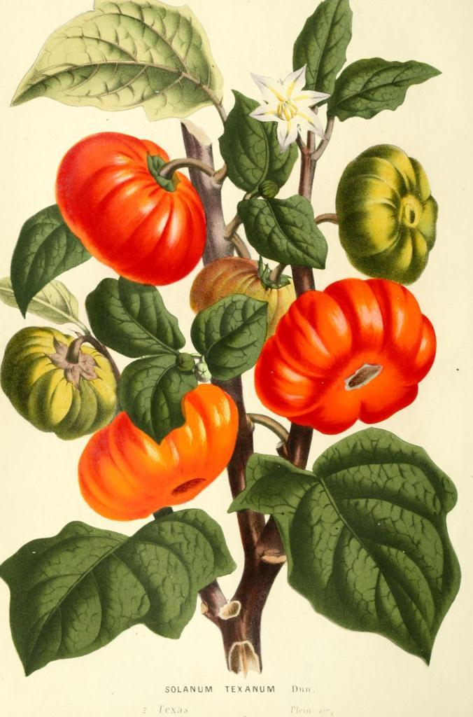 Botanical-Flore-des-Seres-et-Des-Jardins-de-LEurope-Tomato ...