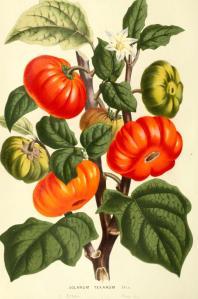 Botanical-Flore-des-Seres-et-Des-Jardins-de-LEurope-Tomato-Solanum-sp. vintage printable
