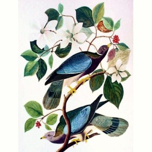 vintage_audubon_color_print_-_band_tailed_pigeon_1964_large_format_2941bfcd