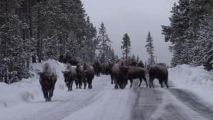 Bison on the road in Yellowstone