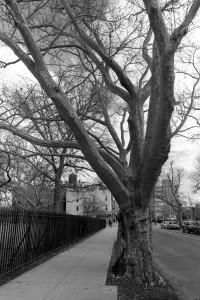 Tree Brooklyn
