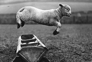 A lamb jumping over a trough, 1950