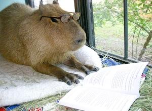 brazilian pig reading