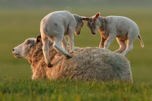"""Leapsheeping Lambs"" by Roeselien Raimond"