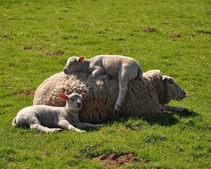 Sheep at Stanton Drew by elaine's life in images on Flickr
