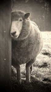 sheepish by karena goldfinch on Flickr