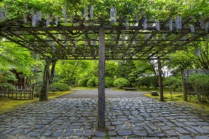 Wisteria Flowers in Bloom at Pergola at Portland Japanese Garden Stone Path