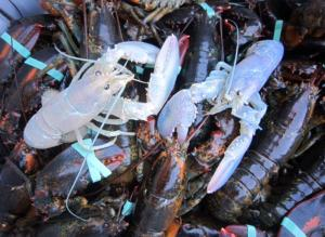 Extremely rare white lobsters