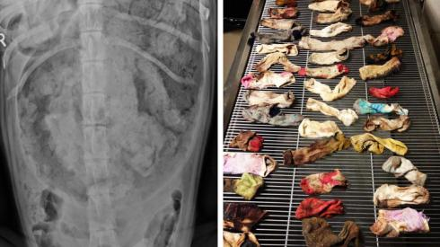 A veterinarian found 43 1/2 socks in a Great Dane's stomach during surgery in Portland, Ore. The animal hospital that removed the socks submitted the dog's X-ray, shown above, for a tongue-in-cheek industry award. (DoveLewis Emergency Animal Hospital)