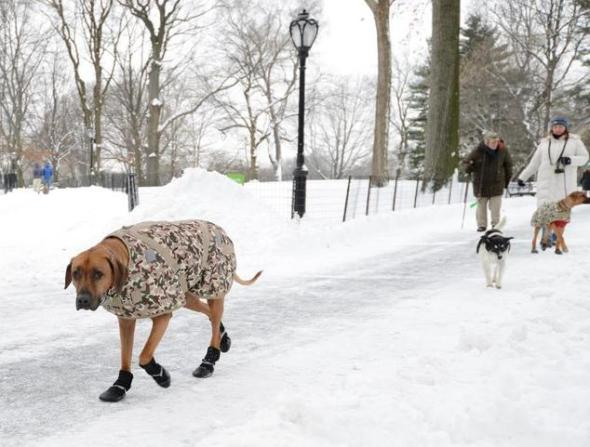 Orion (L) walks through Central Park after a snowstorm hit New York January 27, 2015 ©Stan Honda (AFP)