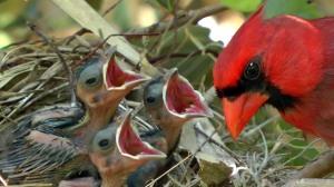 cardinal dad with babies