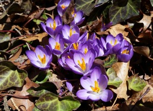 Crocus in Boston