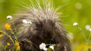 porcupine-spring