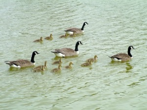 Prospect-Park-Geese-Gassing1