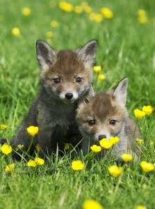 Red-fox-cubs