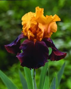 Bearded Iris German Supreme Sultan