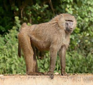 1127px-Olive_baboon_Ngorongoro