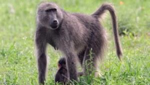 baboons-gcooke480b