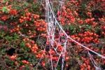 frozen_spider_web_spinnenweb_cotoneaster_CoralBeauty