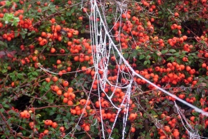frozen_spider_web_spinnenweb_cotoneaster_CoralBeauty
