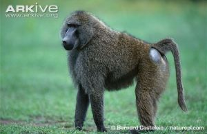 Male-olive-baboon