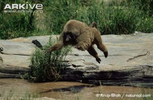 Olive-baboon-jumping-across-water