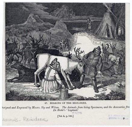 seasonal-reindeer-milking