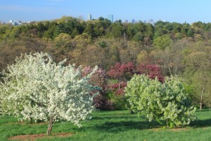 Peters Hill at Arnold Arboretum in Spring