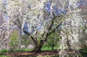 Cherry blossoms at Arnold Arboretum