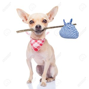 32316240-chihuahua-dog-ready-to-run-away-ready-for-adoption-isoalted-on-white-background-Stock-Photo