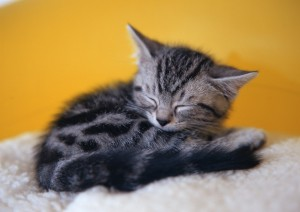 Pictures-of-kittens-cute-sleeping-poses-03