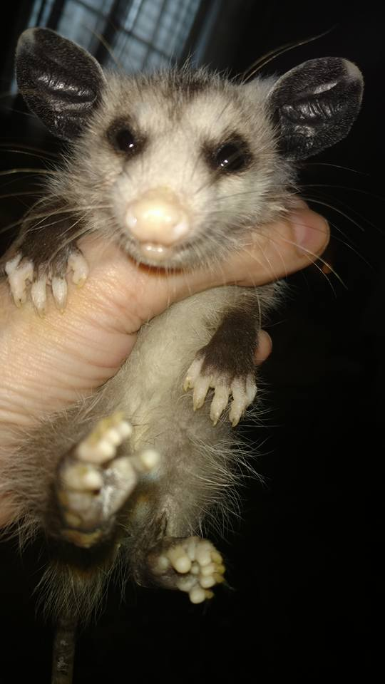 rescue possum