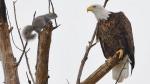 eagle squirrel staredown