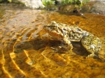 Mountain yellow legged frog, endangered in California