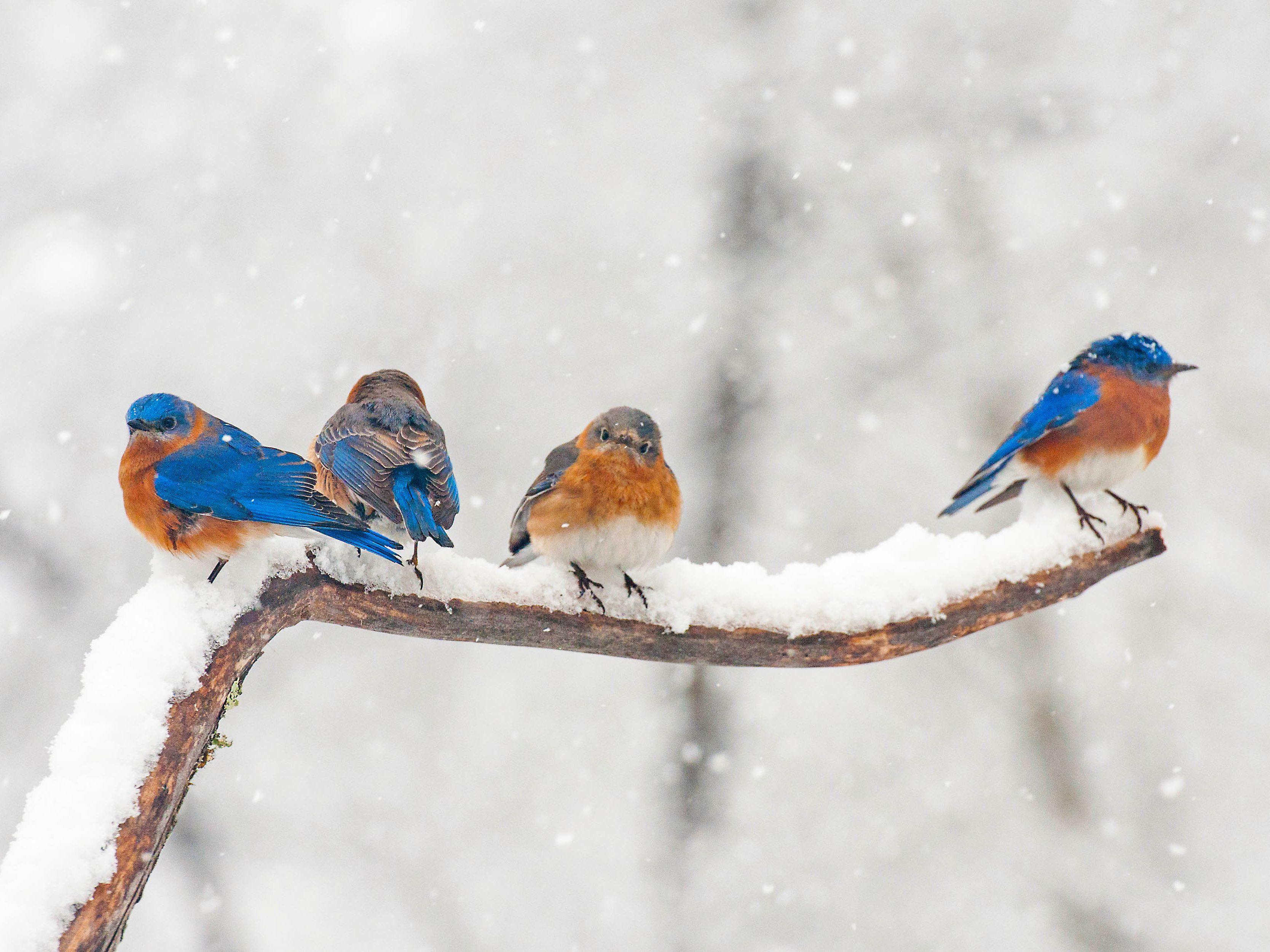 bluebirds-on-snowy-branch-538973107-59de75100d327a00119e3bed