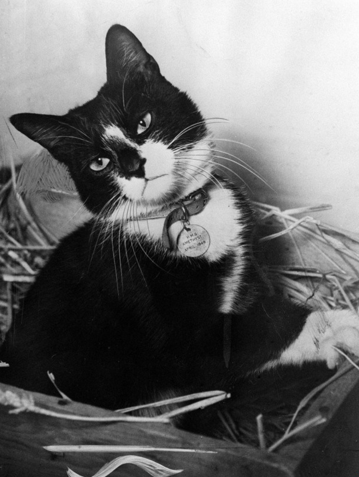 Simon, the ship's cat about the HMS Amethyst, with Dickin Medal, awarded for catching rats in wartime.